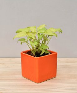 Ceramic Square Pot Orange with Philodendron (Xanadu Golden)