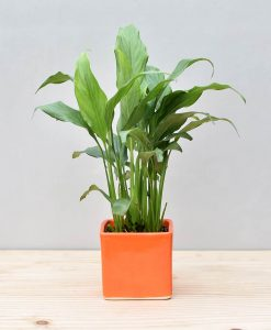 Ceramic Square Pot Orange with Spathiphyllum (Peace Lily)