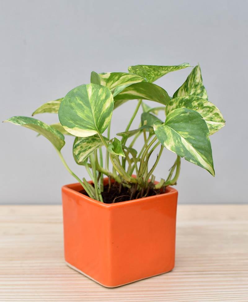 Ceramic Square Pot Orange with Variegated Golden Pathos (Draceana)