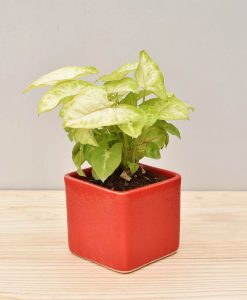 Ceramic Square Pot Red with Dwarf Syngoniums
