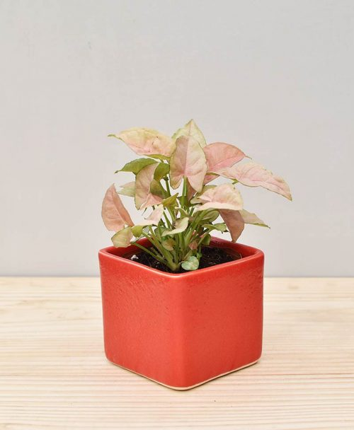Ceramic Square Pot Red with Dwarf Syngoniums Pink
