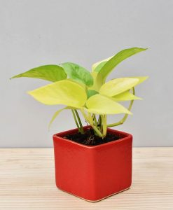 Ceramic Square Pot Red with Golden Pathos (Draceana)