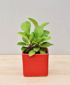 Ceramic Square Pot Red with Peperomia (Radiator Plant)