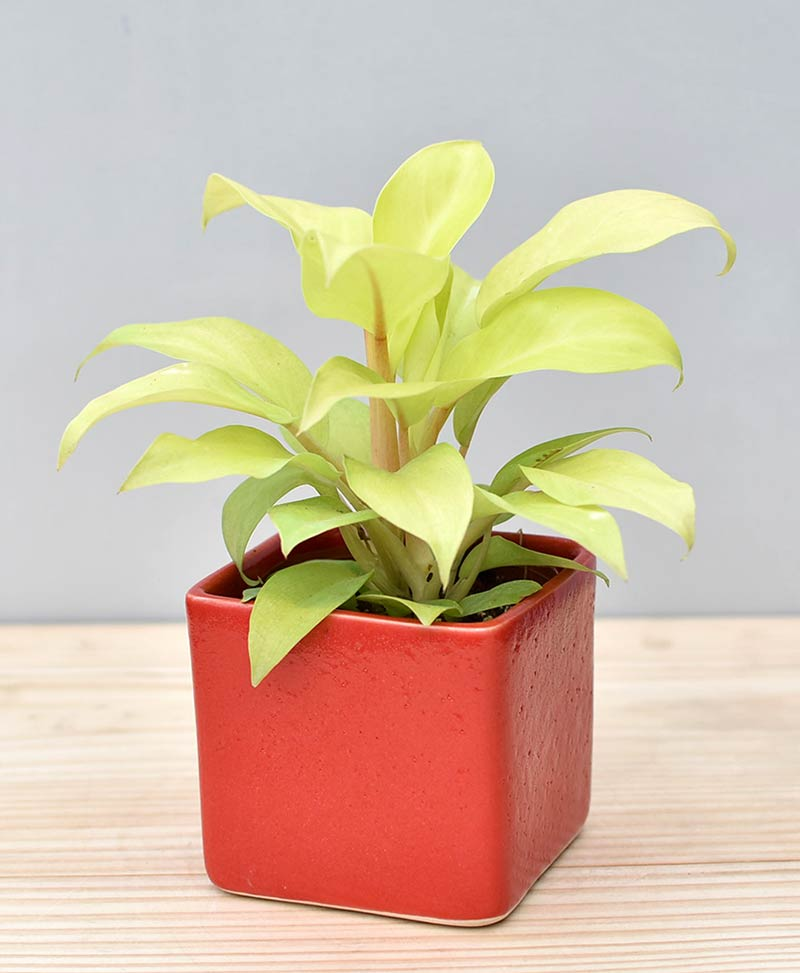 Ceramic Square Pot Red with Philodendron Golden