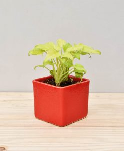 Ceramic Square Pot Red with Philodendron (Xanadu Golden)