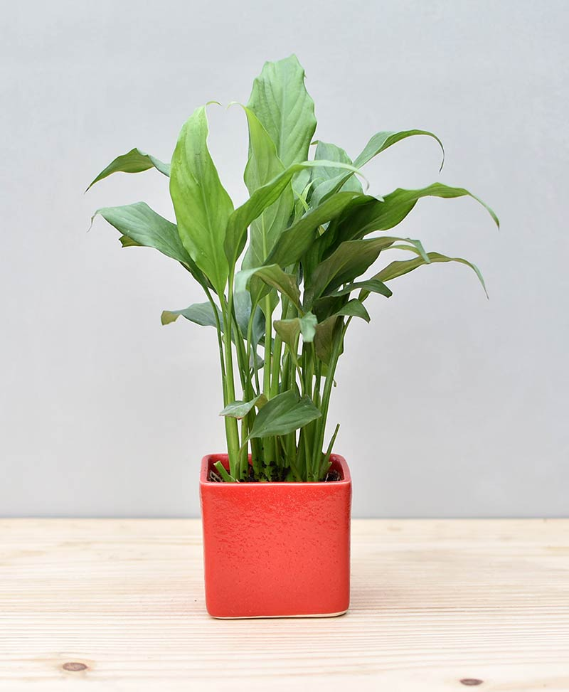 Ceramic Square Pot Red with Spathiphyllum (Peace Lily)