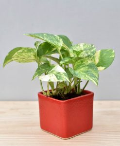 Ceramic Square Pot Red with Variegated Golden Pathos (Draceana)