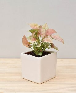 Ceramic Square Pot White with Dwarf Syngoniums Pink