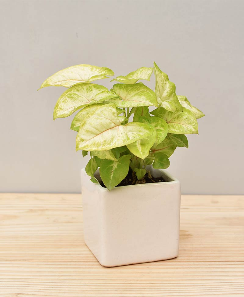 Ceramic Square Pot White with Dwarf Syngoniums