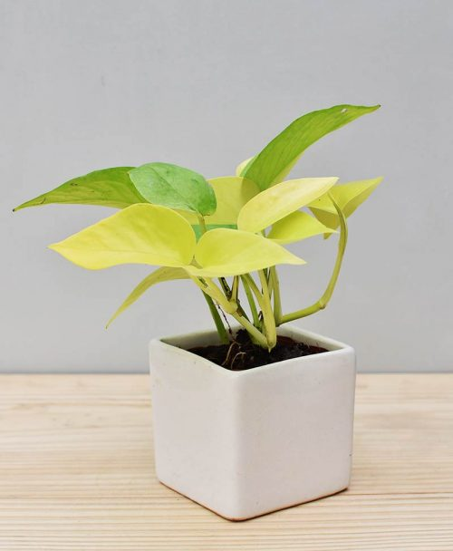 Ceramic Square Pot White with Golden Pathos (Draceana)