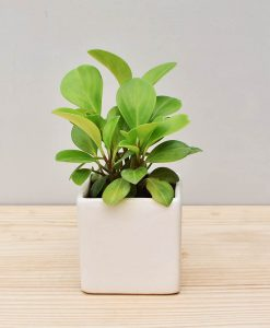 Ceramic Square Pot White with Peperomia (Radiator Plant)
