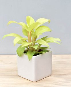 Ceramic Square Pot White with Philodendron Golden