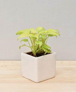 Ceramic Square Pot White with Philodendron (Xanadu Golden)
