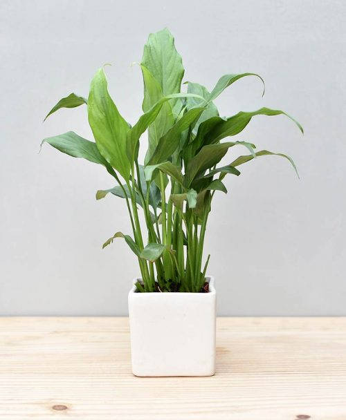 Ceramic Square Pot White with Spathiphyllum (Peace Lily)