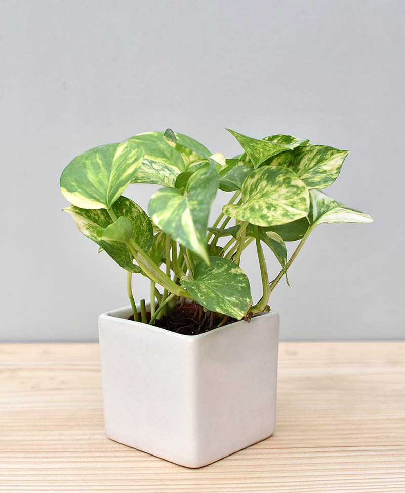 Ceramic Square Pot White with Variegated Golden Pathos (Draceana)