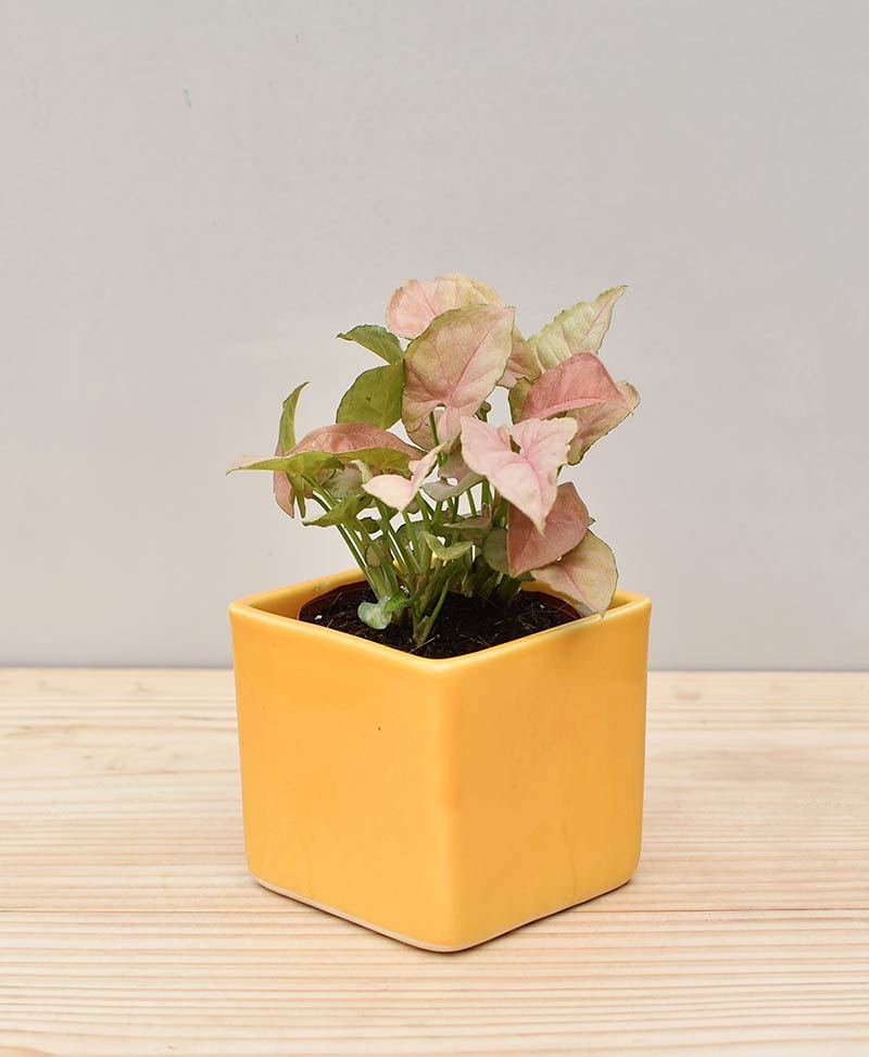 Ceramic Square Pot Yellow with Dwarf Syngoniums Pink