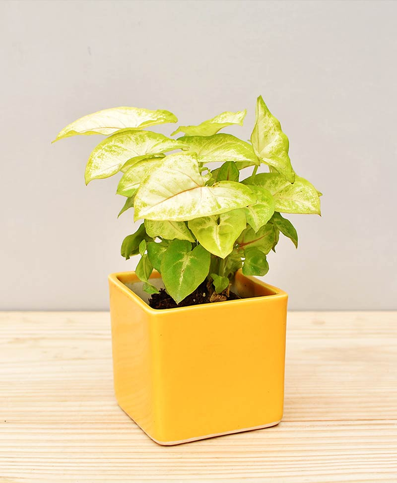 Ceramic Square Pot Yellow with Dwarf Syngoniums
