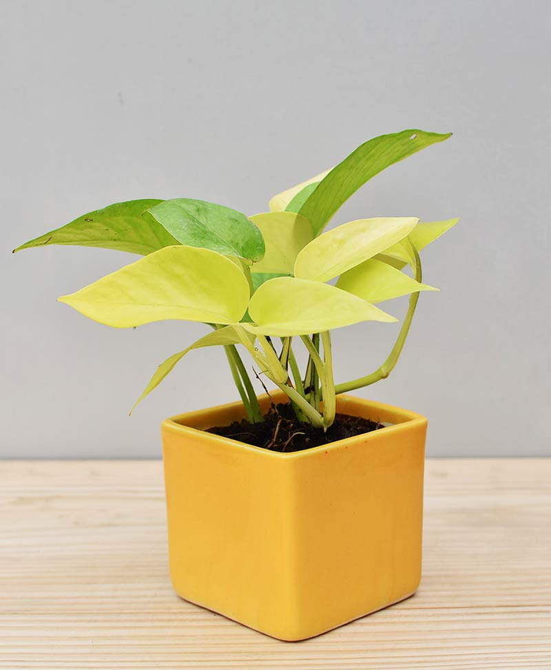 Ceramic Square Pot Yellow with Golden Pathos (Draceana)