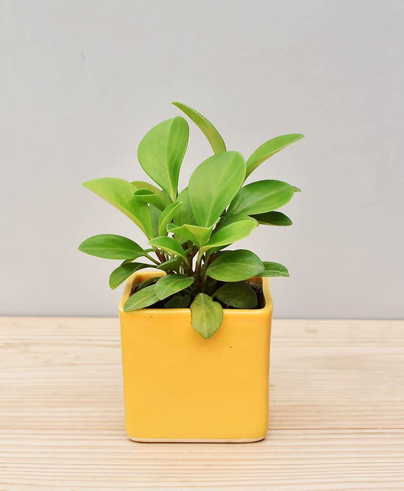 Ceramic Square Pot Yellow with Peperomia (Radiator Plant)