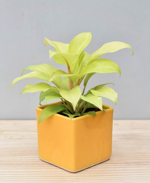 Ceramic Square Pot Yellow with Philodendron Golden