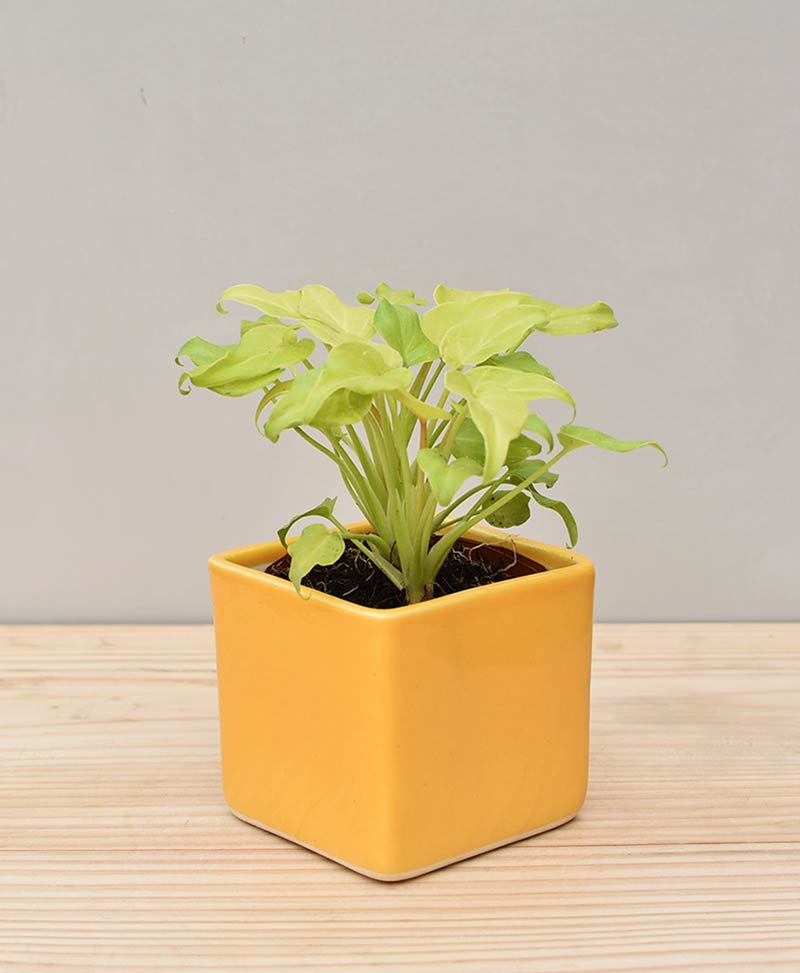 Ceramic Square Pot Yellow with Philodendron (Xanadu Golden)