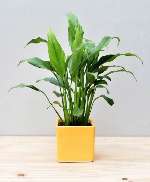 Ceramic Square Pot Yellow with Spathiphyllum (Peace Lily)