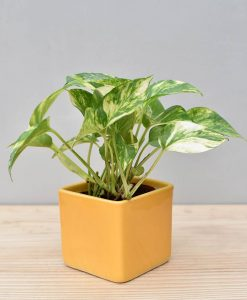 Ceramic Square Pot Yellow with Variegated Golden Pathos (Draceana)