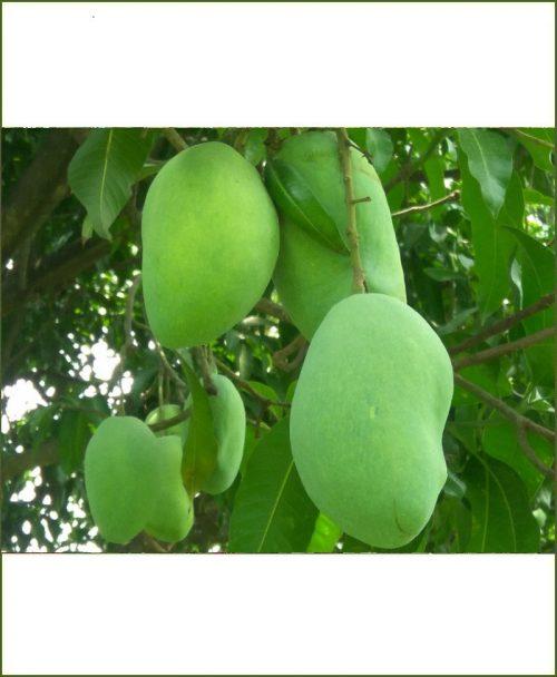 Chausa Mango Plant (Chaunsa)