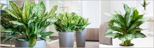 Chinese Evergreen Aglaonema Varieties Part -1