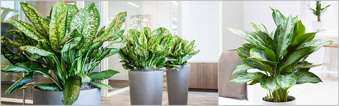 Chinese Evergreen Aglaonema Varieties Part -1