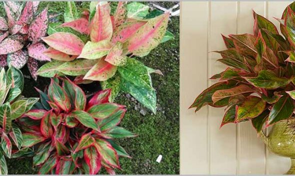 Chinese Evergreen Aglaonema Varieties Part 2