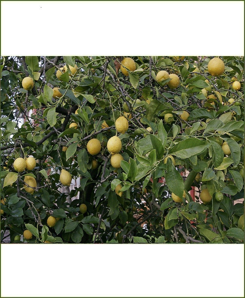 Citrus Aurantifolia, Kagzi Lime, Kagazi Nimboo