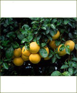 Citrus Limetta, Mosambi, Narangi