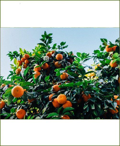 Citrus Sinensis, Kinnow Mandarin, Kinu