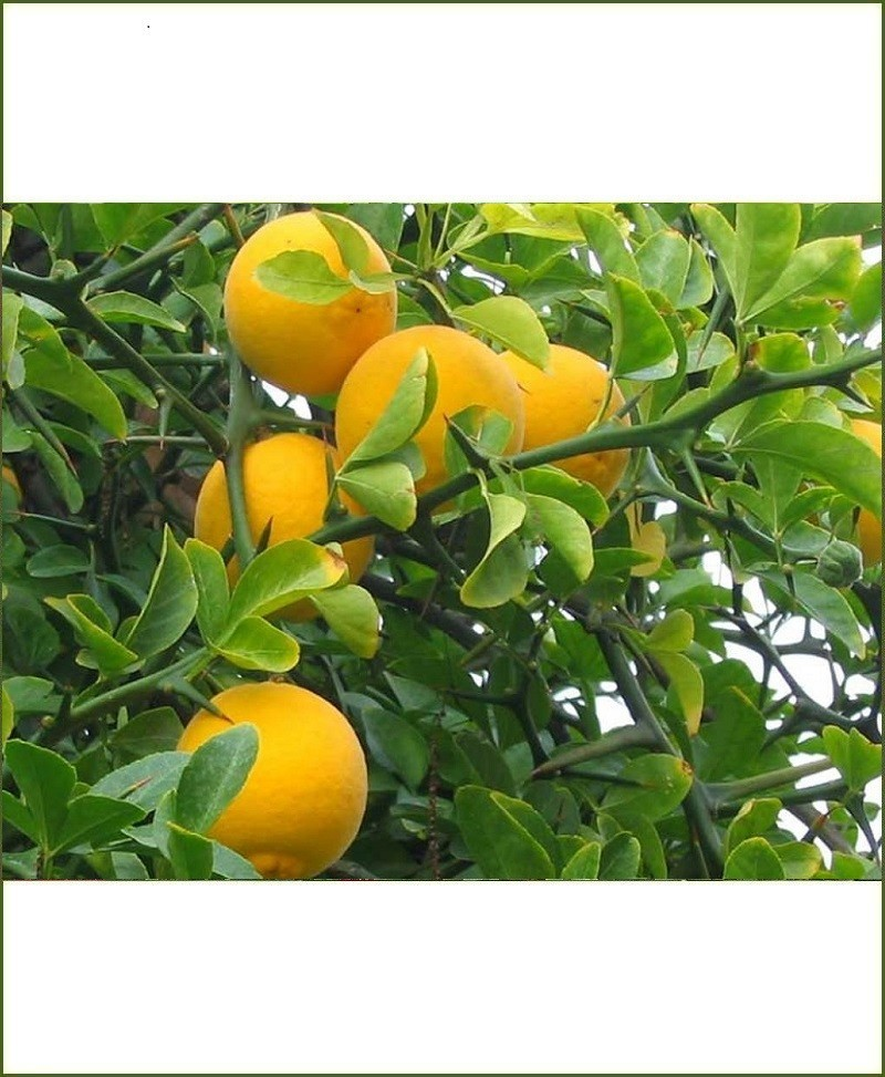 Citrus Trifoliata, Orange, Santra