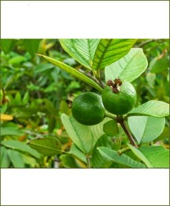 Common Guava, Desi Amrud
