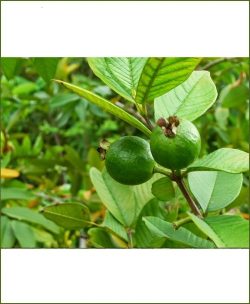 Common Guava, Desi Amrud