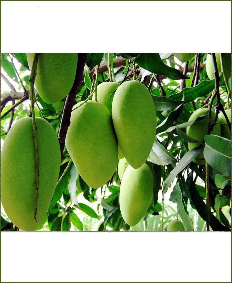 Dashehari Mango Plant (Dasehari)