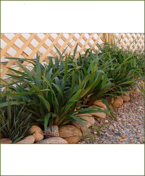 Dianella Tasmanica, Flex Lily, Dianella Grass