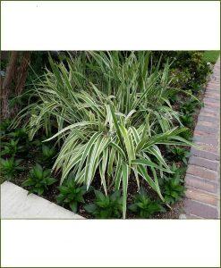 Dianella Tasmanica Variegated, Flex Lily, Dianella Grass