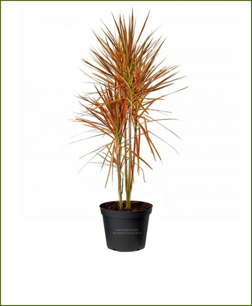 Dracaena Tricolor Red (Dracaena Marginata - Red-edged Dracaena) 48 Inch