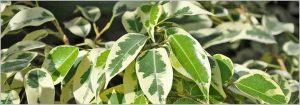 Ficus Benajmina Care – Weeping Fig Care
