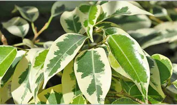 Ficus Benajmina Care – Weeping Fig Care
