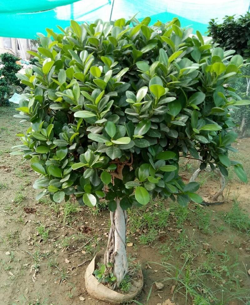 Ficus Microcarpa (Ficus Ginseng) 1 Layer Ball