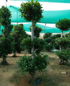 Ficus Microcarpa (Ficus Ginseng) 3 Layer Tower 200CM