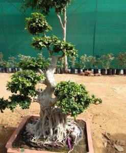 Ficus Microcarpa (Ficus Ginseng) Multi Ball Bonsai Tree