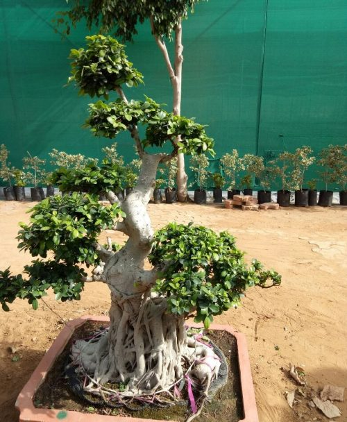 Ficus Microcarpa (Ficus Ginseng) Multi Ball Bonsai Tree