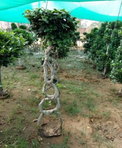Ficus Microcarpa (Ficus Ginseng) Multi Ball Caged Small Tree