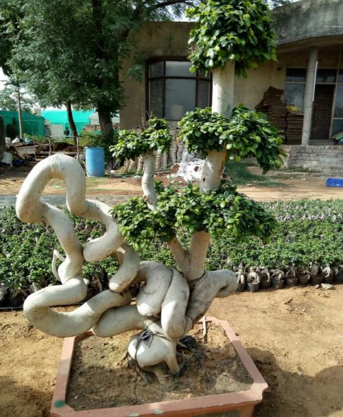 Ficus Microcarpa (Ficus Ginseng) Multi Ball Dragon Tree