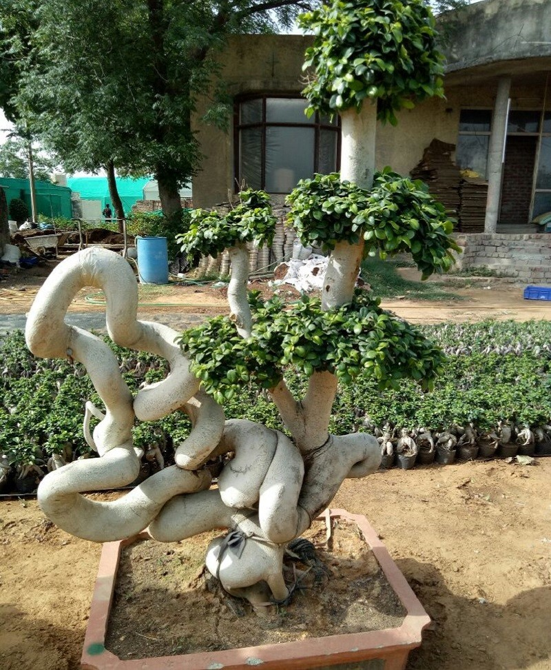 Ficus Microcarpa (Ficus Ginseng) Multi Ball Dragon Tree